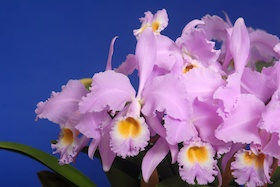 Cattleya gaskelliana var. concolor 'Natural World' x self.