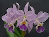 Cattleya labiata Coerulea 'Natural World' AM/AOS x self